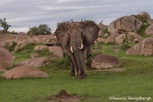 4752 African Elephant, NE Serengeti, Tanzania