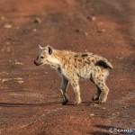 4754 Young Spotted Hyena (Crocuta crocuta), Tanzania