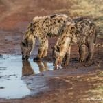 4755 Young Spotted Hyenas (Crocuta crocuta), Tanzania
