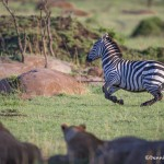 4756 Zebra Surprised by Lionesses, Tanzania