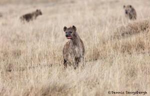 4757 Spotted Hyena (Crocuta crocuta), Tanzania