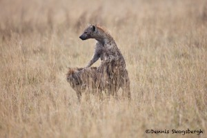4758 Spotted Hyena Mating (Crocuta crocuta), Tanzania