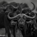 4760 Cape Buffalo, Ngorongoro Crater, Tanzania