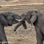 4762 African Elephants, Mating Ritual, Tanzania