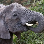 4763 African Elephant, Tanzania