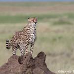 4766 Cheetah (Acinonyx jubatus), Tanzania
