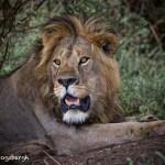 4766 Male Lion, Tanzania