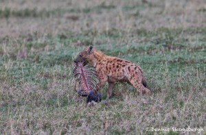 4769 Spotted Hyena with Wildebeest Carcass, Tanzania