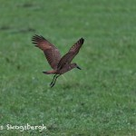 4770 Hamerkop (Scopus umbretta), Tanzania