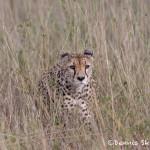 4772 Cheetah, Tanzania