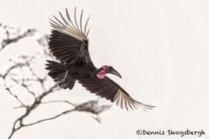 4776 Ground Hornbill (Bucorvus leadbeateri), Tanzania