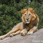 4777 Male Lion, Tanzania