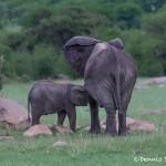 4778 Baby African Elephant Feeding, Tanzania