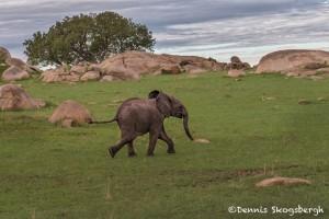 4779 Baby African Elephant, Tanzania