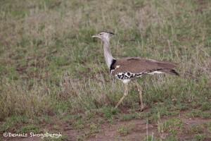 4780 Kori Bustard (Ardeotis kori), Tanzania