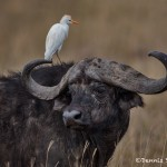 4781 Cape Buffalo, Cattle Egret, Tanzania