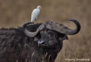 4781 Cape Buffalo, Cattle Egret, Tanzania