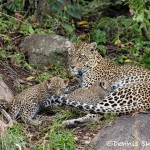 4782 Female Leopard with Cubs, Tanzania