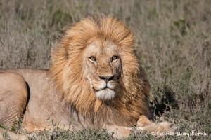 4783 Male Lion, Tanzania