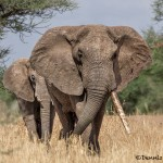 4786 African Elephant, Tanzania