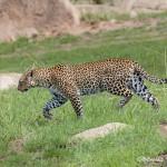 4787 African Leopard, Tanzania