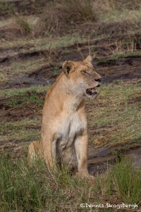 4788 Lioness, Tanzania