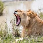 4789 Male Lion, Tanzania