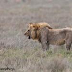 4792 Male Lion, Tanzania