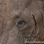 4793 African Elephant, Tanzania