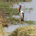 4796 Male Saddle-billed Stork (Ephippiorhynchus senegalensis), Tanzania