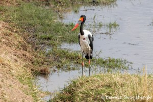 4796 Male Saddle-billed Stork (Ephippiorhynchus senegalensis), Tanzania
