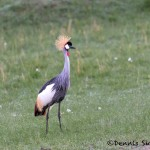 4797 Grey-Crowned Crane (Balearica regulorum), Tanzania