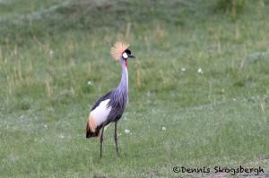 4797 Grey-Crowned Crane (Balearica regulorum), Tanzania