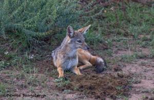 4798 Silver-backed Jackal (Canis mesomelas), Tanzania