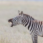 4802 Plains Zebra (Equus quagga) Serengeti, Tanzania