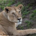4803 Lioness, Serengeti, Tanzania