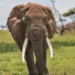 4806 Bull Elephant, Tanzania