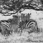 4809 Zebras, Serengeti, Tanzania