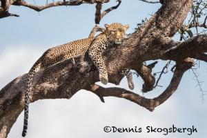 4810 African Leopard, Tanzania