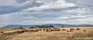 4813 Wildebeest Herd, Serengeti, Tanzania