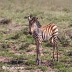 4817 Zebra Foal, Tanzania