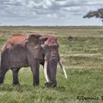 4818 Bull Elephant, Tanzania