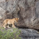 4820 Lion Cub, NE Serengeti, Tanzania