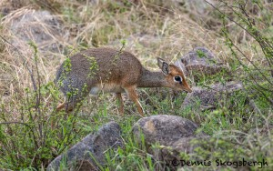 4822 Dik-Dik (Madoqua kirkii), Tanzania