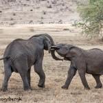 4824 African Elephants, Mating Ritual, Tanzania