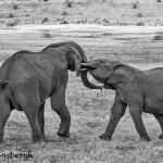 4825 BW African Elephants, Mating Ritual, Tanzania