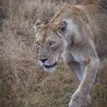 4831 Lioness, Ngorongoro Crater, Tanzania