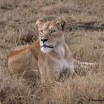 4832 Lioness, Ngorongoro Crater, Tanzania