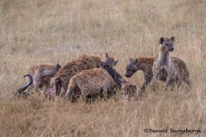 4836 Spotted Hyenas at Wildebeest Kill, Tanzania
