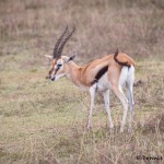4837 Thomson's Gazelle (Eudorcas thomsonii), Tanzania